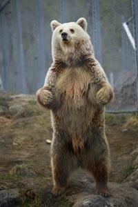 Bjørne er på 10. pladsen over farlige dyr