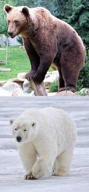 Den brune bjørn og isbjørnen er landjordens største rovdyr
