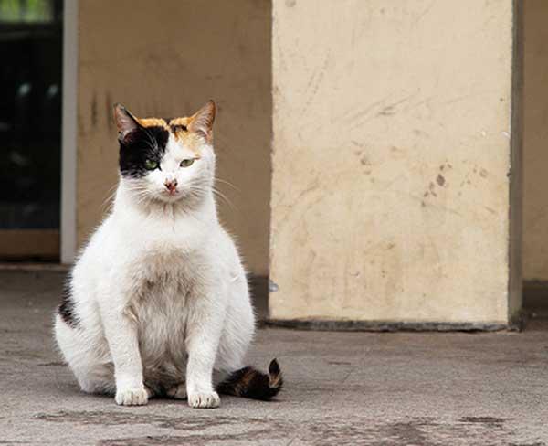 topic hvor laenge er en kat gravid