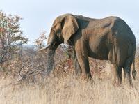 Elefanter er ikke blot store, venlige zoo-dyr
