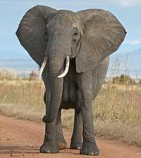 Elefanten er det største nulevende dyr på landjorden
