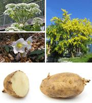 Her ses fire planter, der er giftige for hunde