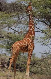 Giraffen er det højeste dyr på landjorden