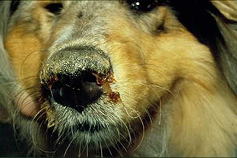 hundens næse løber