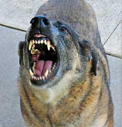Der findes ingen officiel statistik for hvilken hunderace, der bider mest