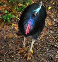 Kasuaren er en af verdens største fugle