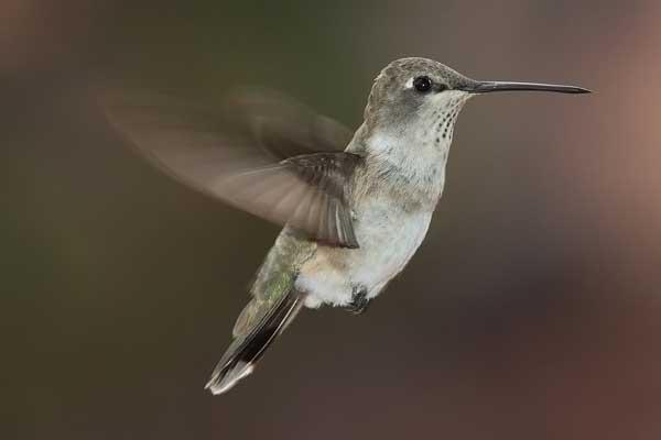 verdens mindste fugl hedder