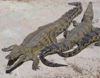 Krokodiller er nogle af jordens ældste dræbere