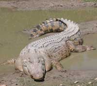 Saltvandskrokodillen er verdens største reptil