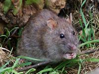 Rottegift er farligt for hunde og katte