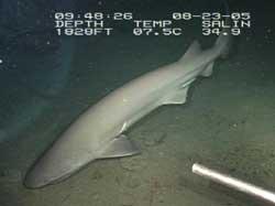 Seksgællet haj