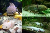 Axolotl er tæt på udryddelse - og derfor meget sjælden