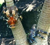 Palmetyven er verdens mest sjældne krebs