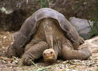 Lonesome George er verdens mest sjældne dyr
