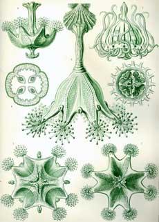Stauromedusae