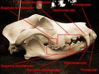 Hundens tænder skiftes i etaper