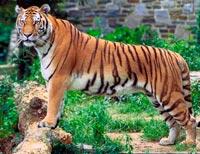 Tigere, løver og jaguarer er store kattedyr