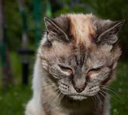 Verdens ældste kat - næsten