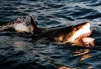 Hajerne er verdens farligste fisk