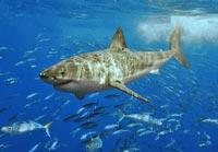Verdens farligste haj: Den store hvide haj