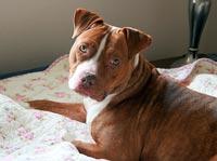 Verdens farligste hund