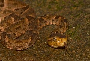 Lanseslangen er en af de farligste slanger i verden