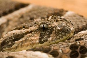 Puffadderen er også en meget farlig slange