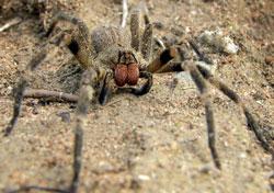Verdens giftigste edderkop - den brasilianske vandreedderkop