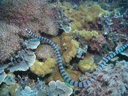 Belcher havslangen er verdens giftigste slange