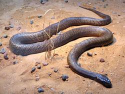 Taipan er verdens 2. giftigste slange