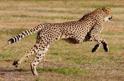 Verdens andet hurtigste dyr: Geparden