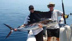 Verdens hurtigste fisk: Atlantisk sejlfisk