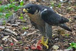 Verdens hurtigste fugl: Vandrefalken