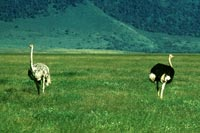Masaistrudsen er verdens hurtigste tobenede dyr