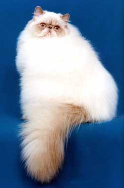 Verdens mindste kat: Himalaya-perseren