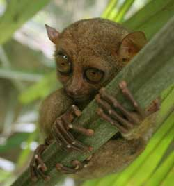 Spøgelsesaben er en af verdens mindste primater - men ikke den mindste abe