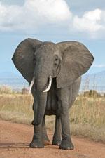 Verdens stærkeste dyr på landjorden er elefanten
