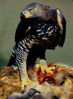 I luften er den afrikanske kronørn verdens stærkeste dyr