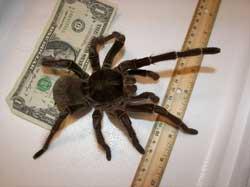 Verdens største edderkop - målt på kropsmassen