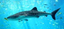 Verdens største haj: Hvalhajen