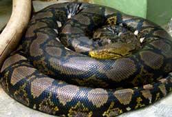 Verdens største slange - Netpythonen