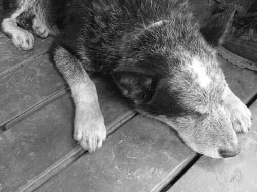 Hvor gammel en hund bliver afhænger af flere faktorer