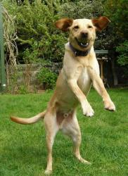 Når hunde hopper op, er det for at hilse