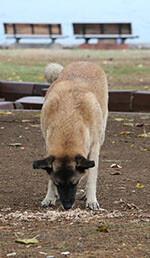Hunde spiser afføring af flere årsager