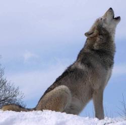 Hunde hyler fordi de nedstammer fra ulve