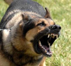 Kastration af hunde tilrådes - men ikke udelukkende for at korrigere 'adfærdsproblemer'