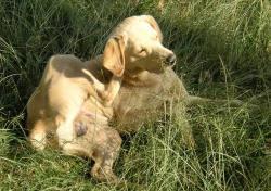 Der kan være mange årsager til at en hund klør sig meget