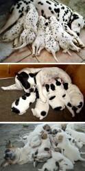 Antallet af hvalpe som en hund får, afhænger især af dens racestørrelse