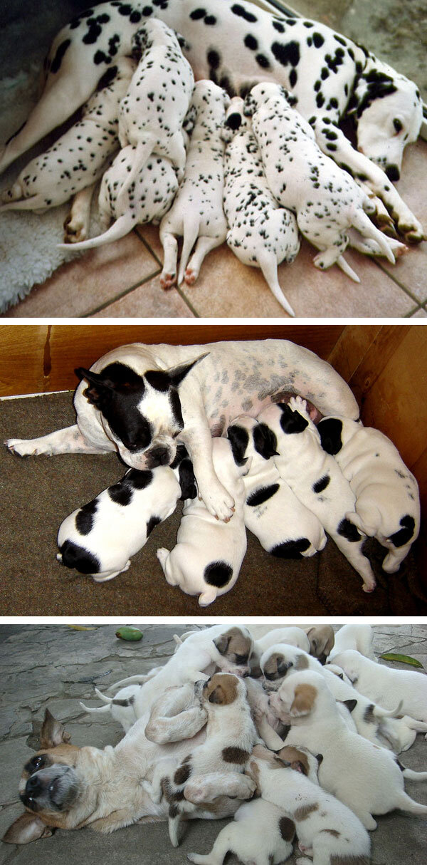 hvor mange hvalpe får en hund