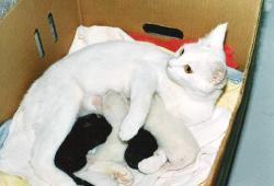 De fleste katte kan få killinger fra de er mellem 6 og 12 måneder gamle